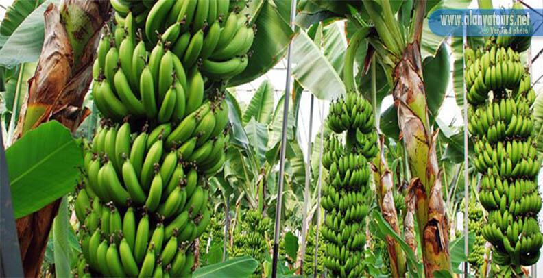 Anamur bananas garden